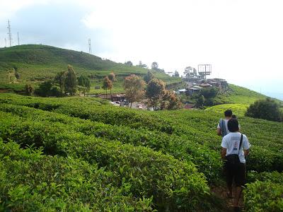 Kebun teh puncak Bogor Jawa barat Indonesia